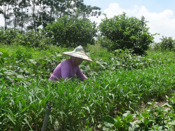 Đất trống luôn được tận dụng để trồng xen kẽ các loại rau nhằm tăng năng suất và cải tạo đất.