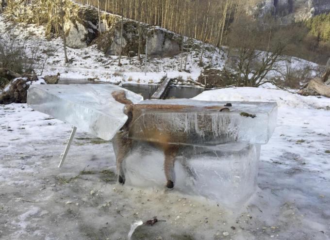 Hình ảnh con cáo bị đóng thành khối băng sau khi ngã xuống sông Danube tại Đức (Ảnh: Independent)