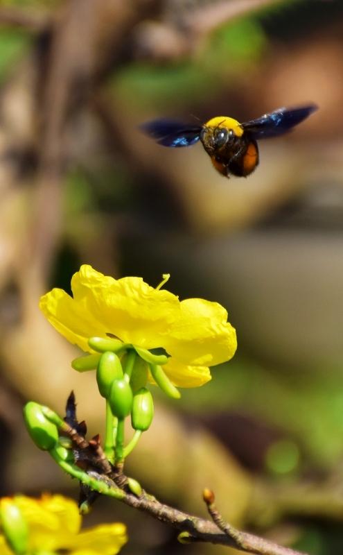 Hoa Mai nở quá sớm do thời tiết bất thường. Nhưng hoa Mai lại mang một vẻ đẹp rất riêng ở thành phố đáng sống nhất Việt Nam.