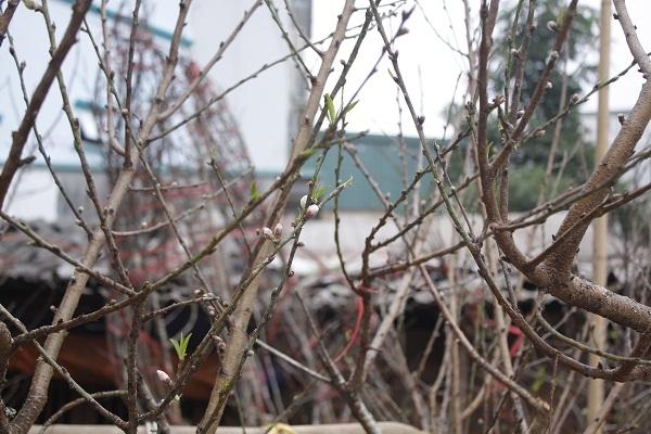 Anh Nguyễn Huy Hoàng, chủ một bãi đào bày bán trên vỉa hè Lạc Long Quân (Tây Hồ, Hà Nội) cho biết, giá cả tuỳ thuộc vào mỗi cành. Cành to thì khoảng 1,5 triệu đến 3 triệu đồng/cành còn cành nhỏ thì khoảng 200 nghìn đồng đến 6 00 nghìn đồng/cành. Cành đẹp thì đẹp tiền, cành xấu thì xấu tiền.Ảnh: Như Trường