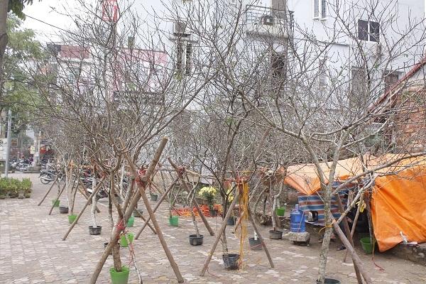 Chi Thu Hương, một người bán đào rừng tại chơ hoa Quảng An (Tây Hồ, Hà Nội) cho biết: