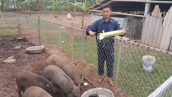 Anh Toản đang chăm bẵm đàn lợn rừng của trang trại nhà mình.