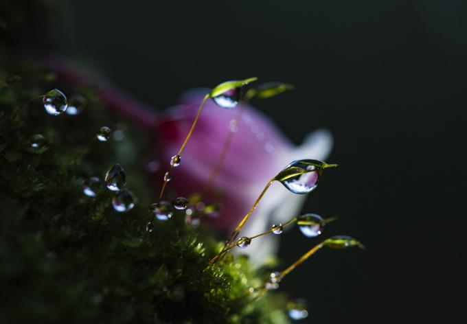Không ở đâu, đào chuông nhiều như ở Bà Nà và cũng không ở đâu khác đào chuông mang sắc hồng đậm nhạt nhiều màu như ở chốn được mệnh danh tiên cảnh này. Người đến Bà Nà vui trong sắc xuân rạng rỡ của muôn vàn loài hoa như cẩm tú cầu, lavender, thanh anh... vẫn không thể quên được bóng dáng của hoa đào chuông, với những cánh hoa buông rủ nhẹ nhàng giống như hình ảnh những vũ công ballet đang múa theo điệu nhạc