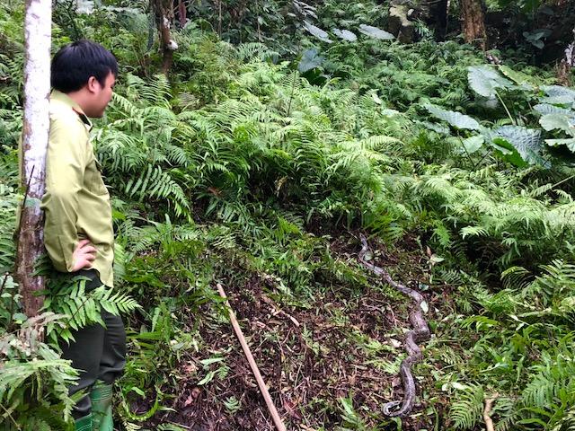 Hai cá thể Trăn gấm được lực lượng Kiểm lâm thả về rừng tự nhiên. (Ảnh: Hagiangtv.vn)