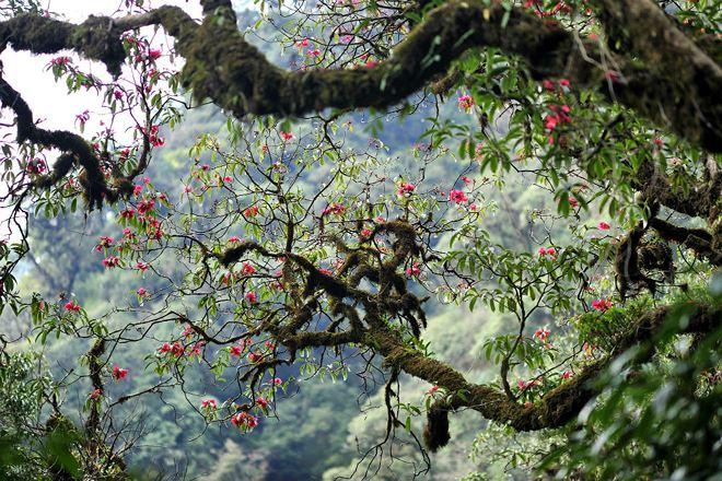 """Hoa đỗ quyên, loài hoa """"bà chúa núi rừng Tây Bắc""""."""