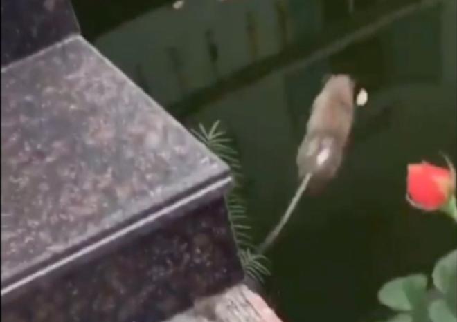 Chân dung chú chuột dũng cảm! (Ảnh từ clip)