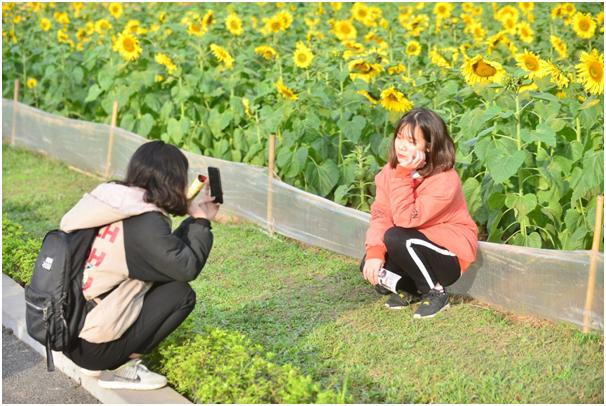 Ngay trong buổi chiều ngày 11/1, khi thông tin về vườn hoa tại Hoàng Thành Thăng Long được chia sẻ rộng rãi khắp cộng đồng mạng, ngay lập tứcloài hoa luôn hướng về mặt trờiđã thu hút nhiều du khách tìm tới xem và chụp ảnh kỷ niệm.