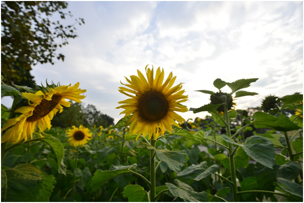 Vườn hoa nhanh chóng thu hút nhiều khách tìm tới.Giờ không cần phải đi đến vườn hoa hướng dương ở Nghệ An, ngay giữaThủ đôcũng có một vườn hoa Hướng Dương đẹp lung linh.