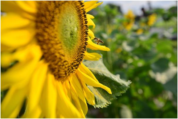 Hướng dương thu hút các loài ong, bướm tìm đến hút mật