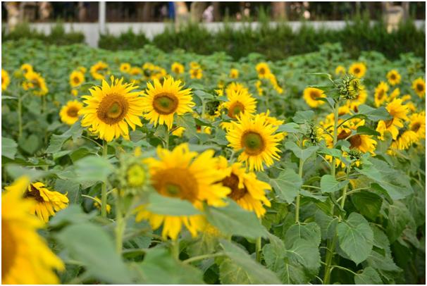 Nhìn vườn hoa trông như một chiếc thảm khồng lồ đang hướng về mặt trời
