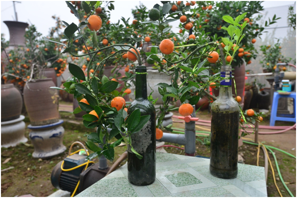 Những cây quất được chủ nhân nhà vườn trồng khéo léo trong các chai lọ thủy tinh