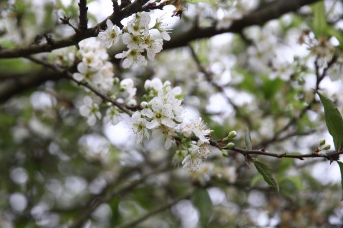 Hoa mơ cũng là một loài hoa báo hiệu cho mùa xuân đang tới.
