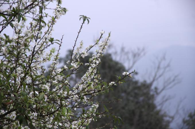 Những cây mơ bắt đầu nở hoa trắng xóa một góc trời.