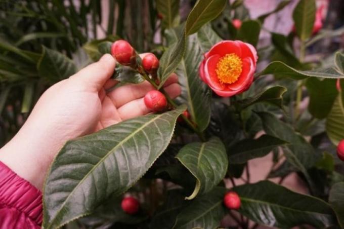Để tránh mua cây hoa hải đường giả, gắn nụ, mọi người cần kiểm tra kỹ trước khi bỏ tiền mua. (Ảnh minh họa)