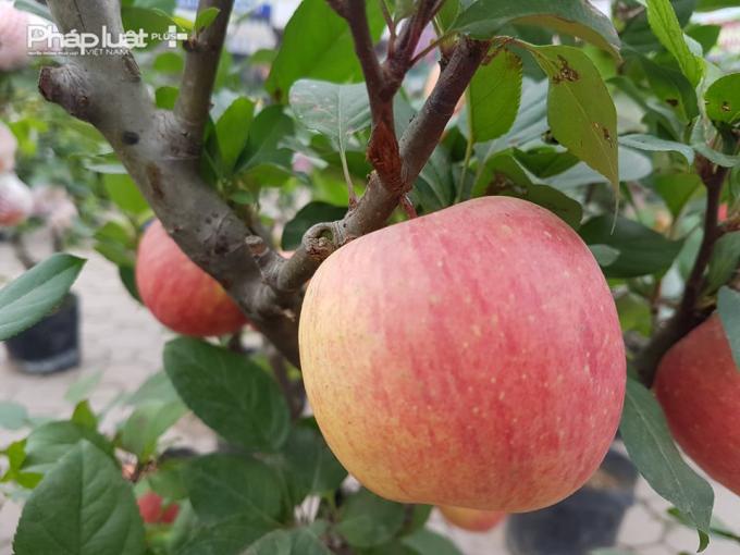 Cây táo đỏ bonsai với những quả căng tròn phù hợp để trưng bày ngày Tết.