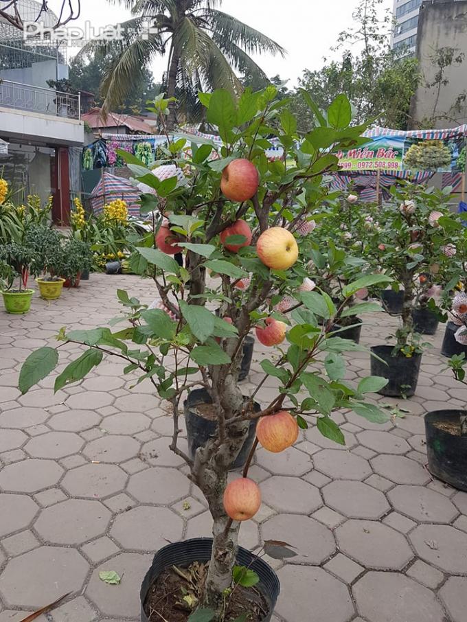 Mỗi cây táo đỏ có chiều cao trên 1m và có từ 10 - 20 quả mọc ra từ phần gốc cây lên đến ngọn.