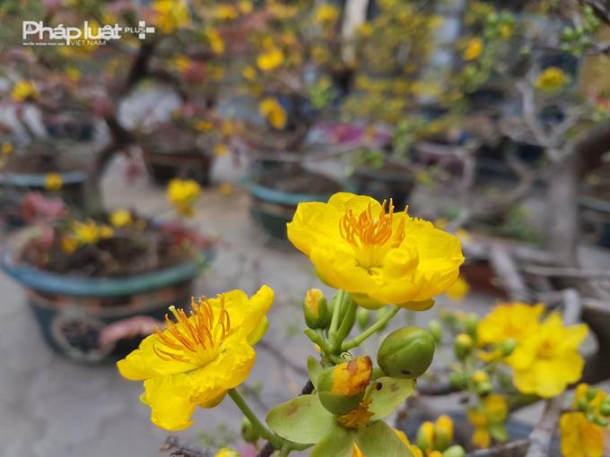 Màu vàng của hoa mai từ lâu được xem là màu tượng trưng cho sự giàu sang, phú quý.