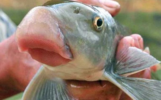 Cá anh vũ là một trong những đặc sản được săn lùng dịp tết Nguyên Đán. (Ảnh: minh họa)