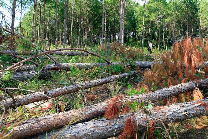 Thời gian qua trên địa bàn tỉnh Lâm Đồng liên tiếp xảy ra tình trạng phá rừng.