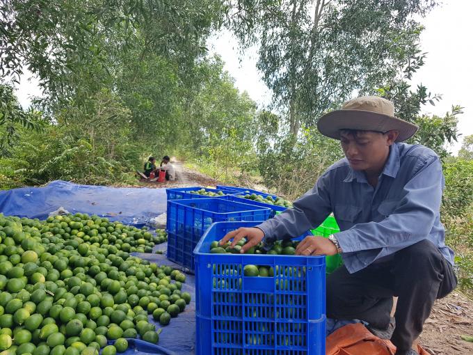 Thị trường Nhật Bản khắt khe đã rộng cửa cho trái chanh Việt Nam