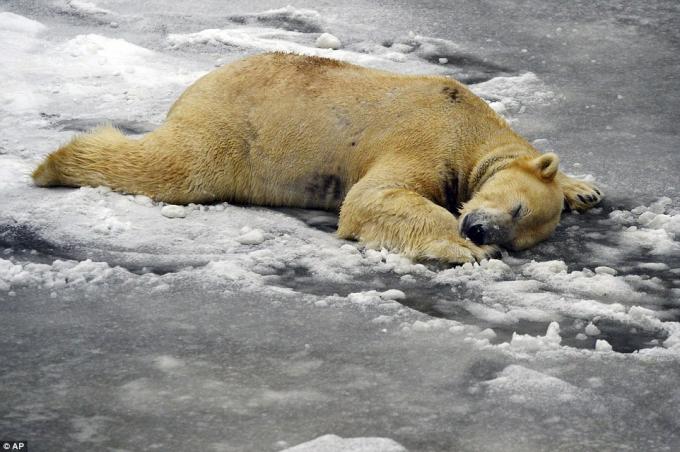 Một chú gấu Bắc cực ngủ đông ở vườn thú Tierpark, Berlin. (Ảnh: AP)