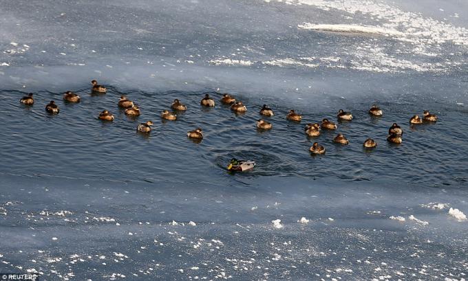 Những chú vịt trời bơi trên dòng sông băng ở Zenica. (Ảnh: Reuters)
