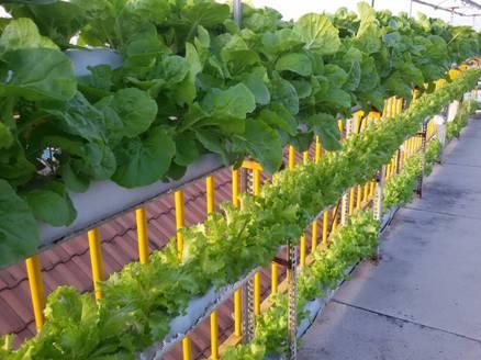 Hệ thống trồng rau sạch bằng phương pháp thủy canh Totha.
