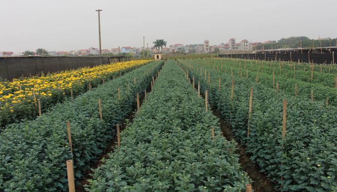 Làng hoa Tây Tựu thuộc Quận Bắc Từ Liêm, nằm cách trung tâm TP Hà Nội khoảng gần 20km.
