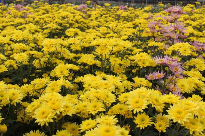 Vừa mới bắt đầu về đến đầu làng Tây Tựu, du khách như đã lạc vào một rừng hoa bạt ngàn với hàng chục loài hoa đang tỏa hương như: Ly, hoa cúc, đồng tiền, violet,...