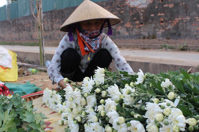 Ngoài cúc vàng, cúc trắng cũng được trồng trên diện rộng. Có lẽ, cúc là mặt hàng dễ tiêu thụ nhất tại đây nên cúc được trồng quanh năm.