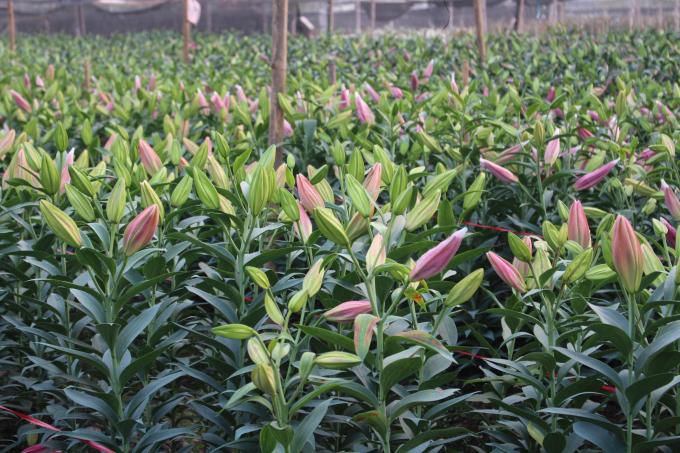 ... những thời điểm sốt giá có thể lên tới 60.000 - 80.000 đồng/cành hoa đẹp