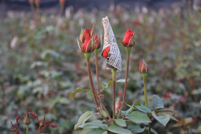 Và một loại hoa nữa cũng không kém phần đặc trưng của làng hoa Tây Tựu đó là hoa hồng. Theo những nhà vườn, hoa hồng cũng là loài hoa chủ lực mang lại thu nhập ổn định cho người dân.
