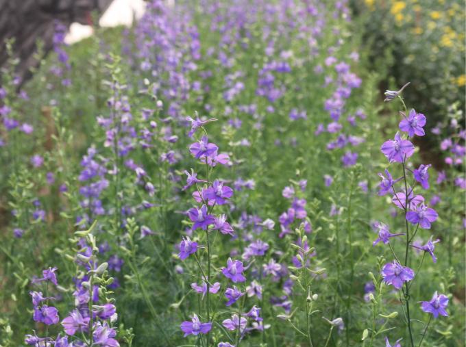 Sắc tím violet luôn đem đến cảm giác man mác trong những ngày xuân và không thể thiếu trên bàn tiếp khách trong dịp Tết.