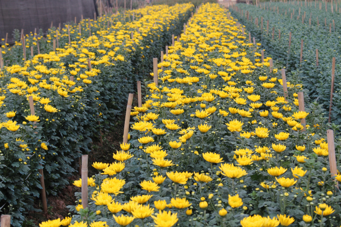 Những luống cúc vàng óng xen kẽ với luống nụ đã hé vàng, đây là loại hoa rất được ưa chuộng để cắm trên bàn thờ dịp Tết của người Việt.