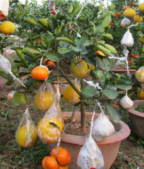 Những loại quả có múi như cam, quýt, chanh, bưởi ghép chung sẽ cho tỷ lệ