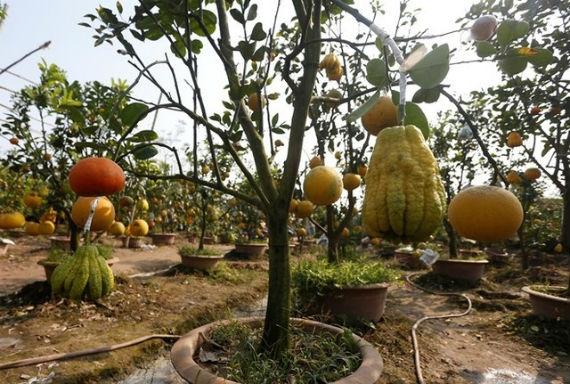 Nhờ mối ghép tinh tế mà nhiều loại quả sống trên một thân cây vẫn giữ được vị riêng