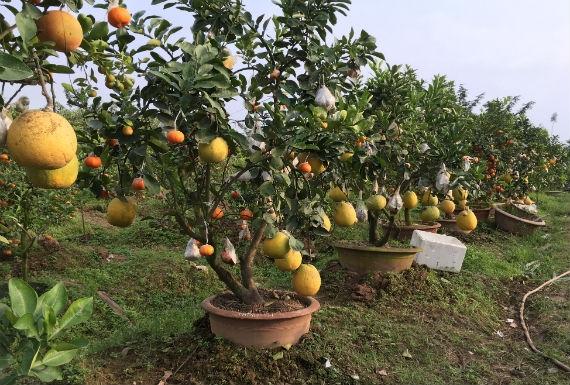 """Hà Nội: Độc đáo vườn cây """"thập toàn thập mỹ"""" của """"Nghệ nhân chân đất"""""""