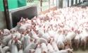 Kinh doanh thịt heo sạch được hỗ trợ