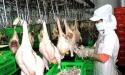 300 tấn thịt gà đầu tiên sẽ xuất sang Nhật