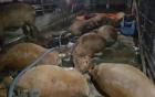 Vĩnh Phúc: Người dân tá hỏa khi phát hiện 17 con bò chết bất thường