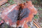 Vụ phá rừng gỗ mun ở VQG Phong Nha - Kẻ Bàng: Không khó tìm ra thủ phạm?