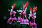 Bà Nà đẹp lạ trong mùa hoa đào chuông chỉ có trên đỉnh Núi Chúa