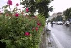 'Con đường hoa hồng' đầu tiên ở Hà Nội