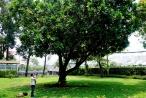 Bàng vuông Trường Sa tỏa bóng mát giữa Sài Gòn