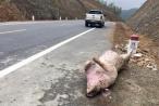 Vẫn còn tình trạng vứt xác lợn trên tuyến đường Thái Nguyên - Chợ Mới