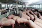 Sử dụng chất cấm trong chăn nuôi là tội ác