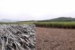 Nghệ An: Doanh nghiệp lao đao vì tình trạng tranh mua mía đường nguyên liệu