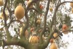 Chào xuân Plus 2018: Độc đáo, cây tượng trưng cho 'mâm ngũ quả' tròn đầy trong ngày Tết
