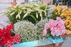 Tháng 4 về ngập phố Hà Nội với loài hoa báo hè