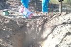 Tiêu hủy gần 1.000 con heo vì dịch lở mồm long móng